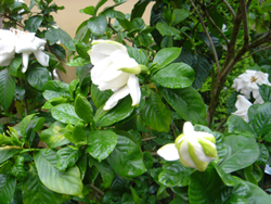 Gardenia_3